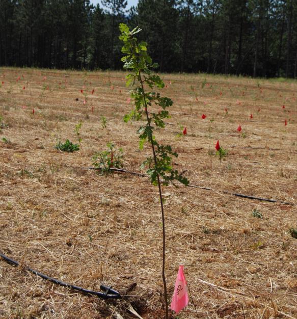 Oak Provenance seedlingphoto